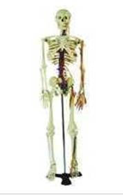 人體骨骼醫學模型 JP/11103/3