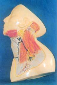 人體解剖模型|人體頸部淺層神經血管頒模型示淺層M及皮層N GD-0305M1