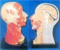 人體解剖模型|頭頸部肌肉解剖模型 GD-0305Y