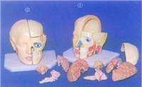 人體解剖模型|大頭顱帶全部腦模型 GD-0305E