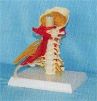 人體骨骼模型|上等頸椎帶神經、肌肉、小腦模型 GD-0142A009
