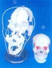 人體解剖模型|顱骨骨性(骨色)分離模型 GD0153X/GD0153Y