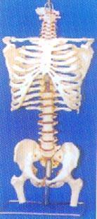 人體解剖模型|大型**帶后枕骨、脊椎、椎間盆、髖骨等豪華掛座模型 GD-0152B