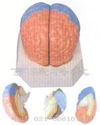 解剖醫學模型|大腦分葉模型 GD/A18204