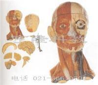 醫學教學模型|頭頸部肌肉與血管附腦模型 GD/A18211