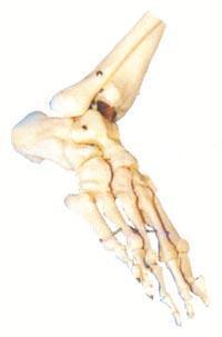 醫學模型|足骨模型 GD/A11133