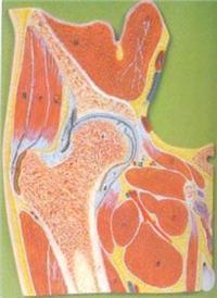 解剖醫學模型|髖關節剖面模型 GD/A11205