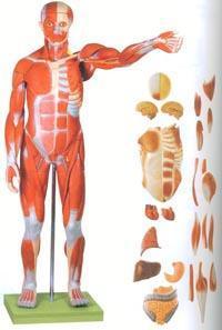 醫學解剖模型|人體全身肌肉附內臟模型 GD/A11301
