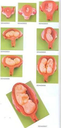 醫學解剖模型|妊娠胚胎發育模型 GD/A42005
