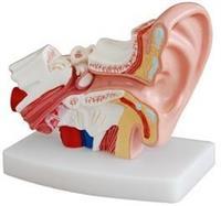 桌上型耳解剖模型 KAH-XC303D