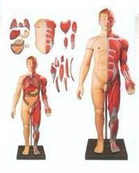 人體全身層次肌肉附內髒模型 GD/A10001
