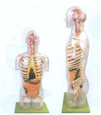 透明半身軀幹附內髒模型  GD/A10004