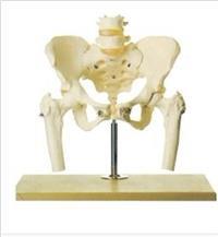 骨盆附腰椎與股骨頭模型 GD/A11129