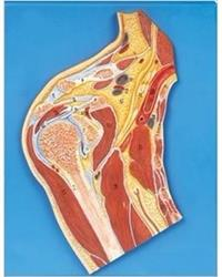 肩關節剖面模型 GD/A11202