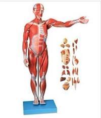 人體全身肌肉附內臟模型(縮小模型) GD/A11302/1