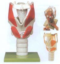 喉結構與功能放大模型 GD/A13005