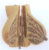 上等哺乳期女性乳房模型 GD/A15111