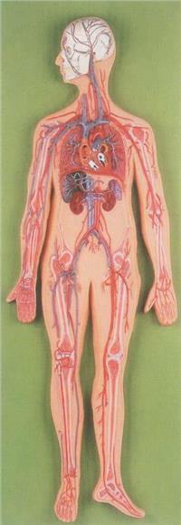 上等血液循環模型 GD/A16001