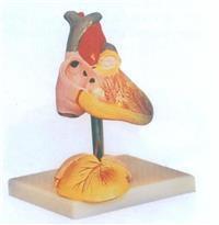 上等兒童心髒解剖放大模型   GD/A16008