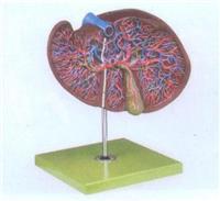 上等肝、膽囊放大模型  GD/A12009