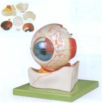 上等眼球構造放大模型    GD/A17103