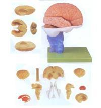 上等腦解剖模型 GD/A18203