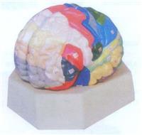 上等大腦皮質分區模型 GD/A18206