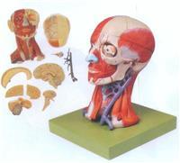 上等頭頸部肌肉、血管附腦模型 GD/A18211