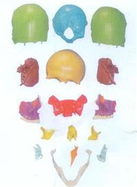 上等分離頭顱骨散骨模型  GD/A11117/1