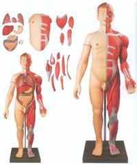 GD/A10001人體全身層次肌肉附內髒模型 GD/A10001