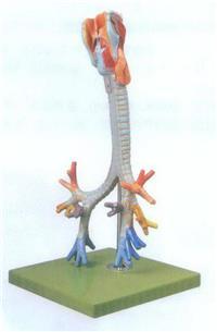GD/A13006喉與氣管、支氣管樹模型 GD/A13006