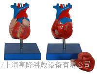 自然大心臟解剖模型 KAH/A307A