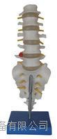 自然大腰椎帶尾椎骨模型 KAH/A119