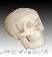小型頭骨模型 KAH/A106