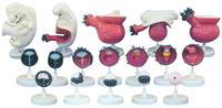 人體胚胎模型(12部件) KAH5020