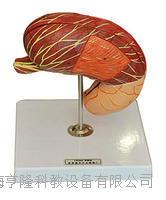 胃解剖模型 KAH2049
