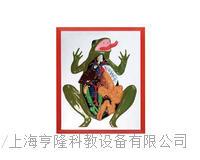 蛙解剖浮雕模型 KAH2079-25