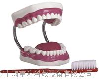 牙護理保健模型2(放大五倍) KAH-11A