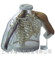 上等上臂肌肉注射及對比模型2 KAH-S20
