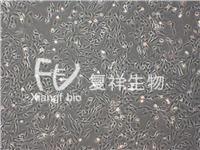 UMNSAH/DF-1 鸡胚胎成纤维细胞 UMNSAH/DF-1