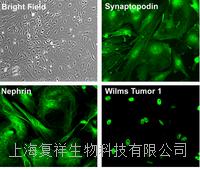 美国Primary Rat Podocyte大鼠原代肾足细胞 PCKDR01