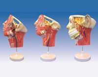 頭面部血管神經模型 YIM/18109-1