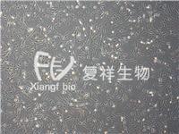 LX-2 人肝星形细胞 LX-2    人肝星形细胞