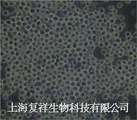 CRL-1581 Sp2/0-Ag14 小鼠骨髓瘤细胞系 CRL-1581