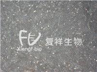 CCL-153 HFL1 人肺成纤维细胞 CCL-153