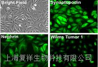 美国Primary Mouse Podocyte小鼠原代肾足细胞 PCKDM01