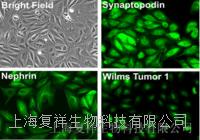 RAW264.7 小鼠胶质瘤细胞